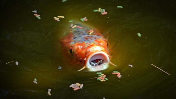Alimentación para kois y goldfish