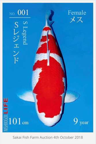 Koi kohaku mas caro del mundo Kentaro Sakai 50th Anniversary All Japan Koi Show