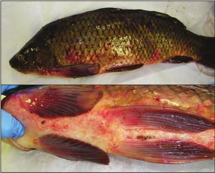 Enfermedades de kois y goldfish width=150