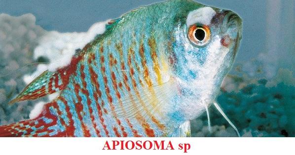 Apiosoma enfermedad por parásitos koi peces de agua fria