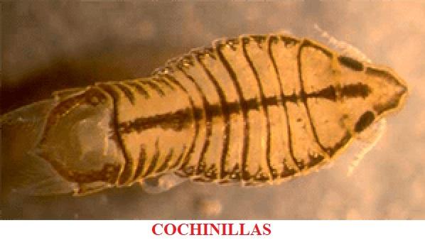 Cochinillas enfermedades por parásitos koi peces de agua fria