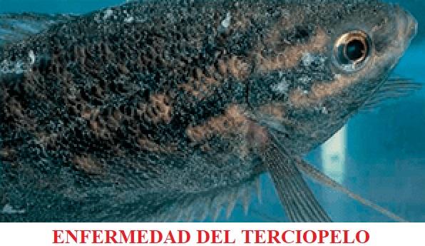 Piscinoodinium Enfermedad del terciopelo enfermedades por parásitos koi peces de agua fria