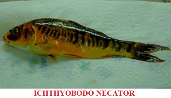 Ichthyobodo necátor enfermedades por parásitos koi peces de agua fria