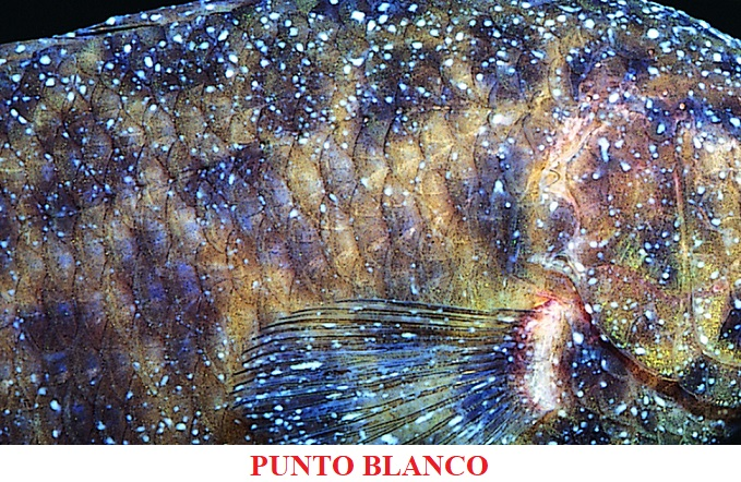 Punto blanco enfermedades por parasitos koi peces de agua fria