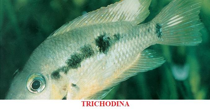 Trichodina enfermedad por parásitos koi peces de agua fria
