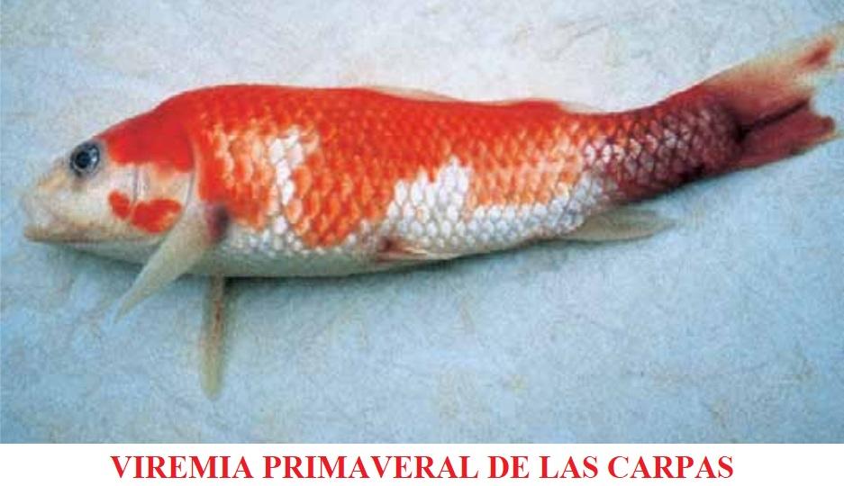 Viremia primaveral de la carpa Rhabdovirus carpio SVC (Spring Viremia of Carp)
